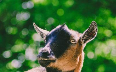 Gli animali da fattoria possono migliorare il sistema immunitario