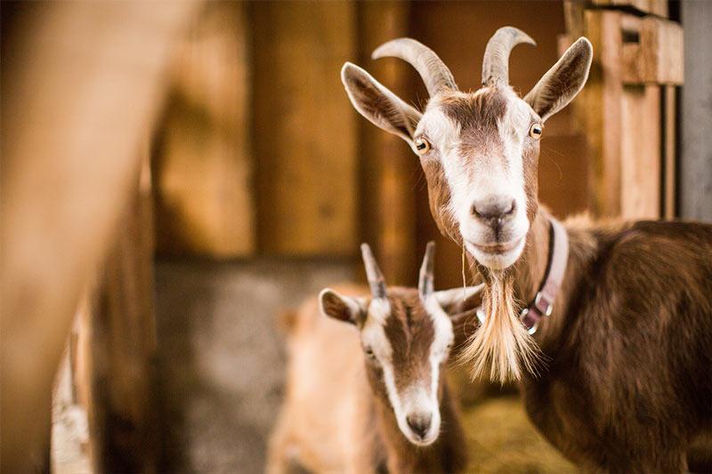 Korban baby goat