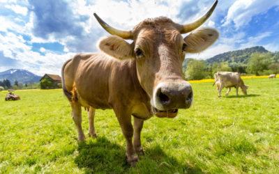 I latticini non scremati sono collegati a una più bassa incidenza di obesità